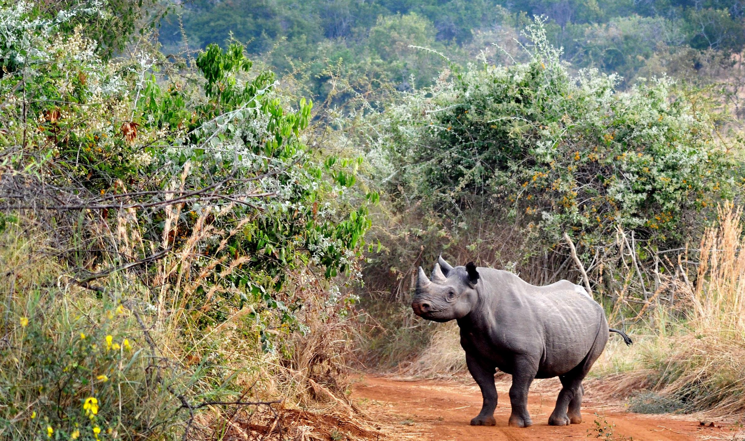 Chester Zoo helps five endangered black rhinos find new home in Rwandan national park