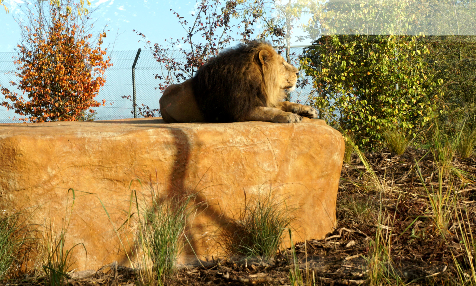 See Chester Zoo lions enjoying their roarsome new home