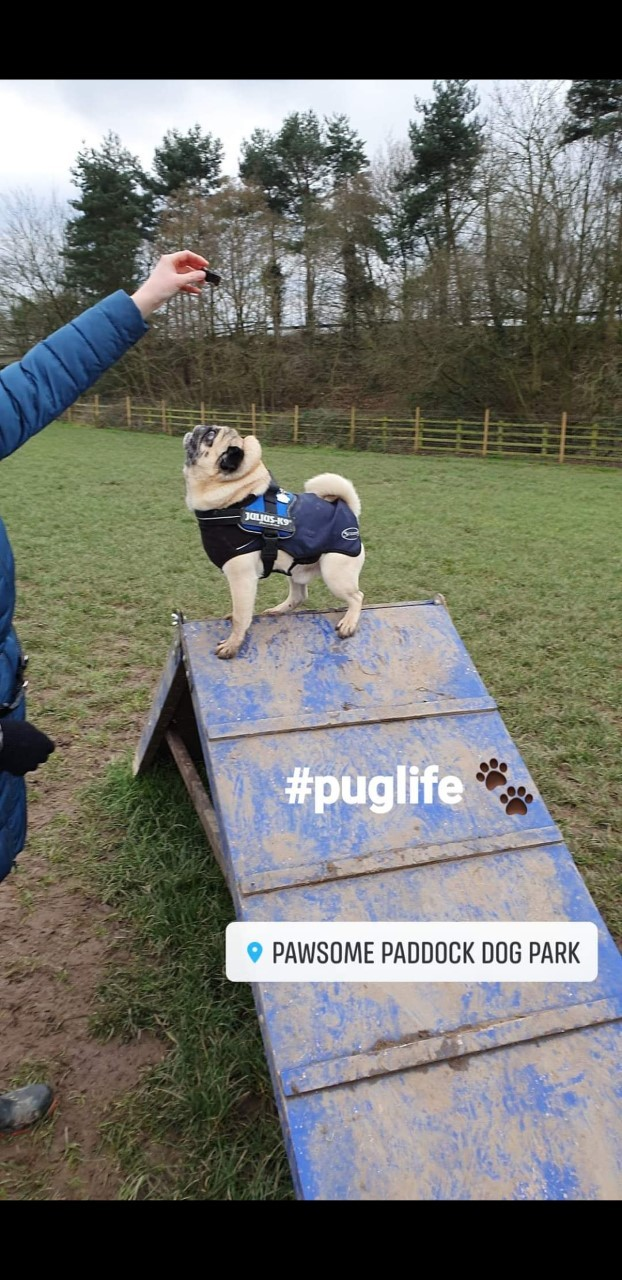 Chester dog park hosts inaugural pug meet-up fundraiser for rescued pugs charity