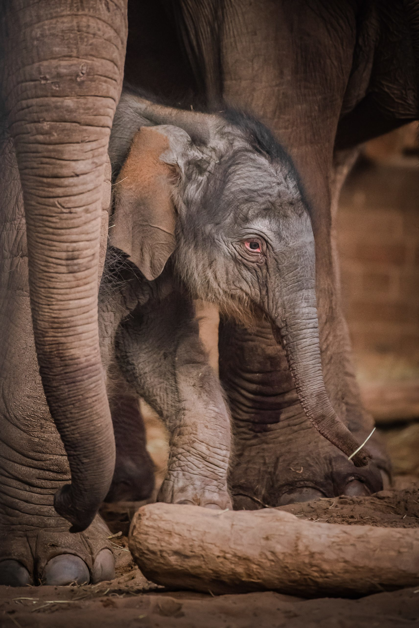 Birth of rare Asian elephant at Chester Zoo is caught on CCTV