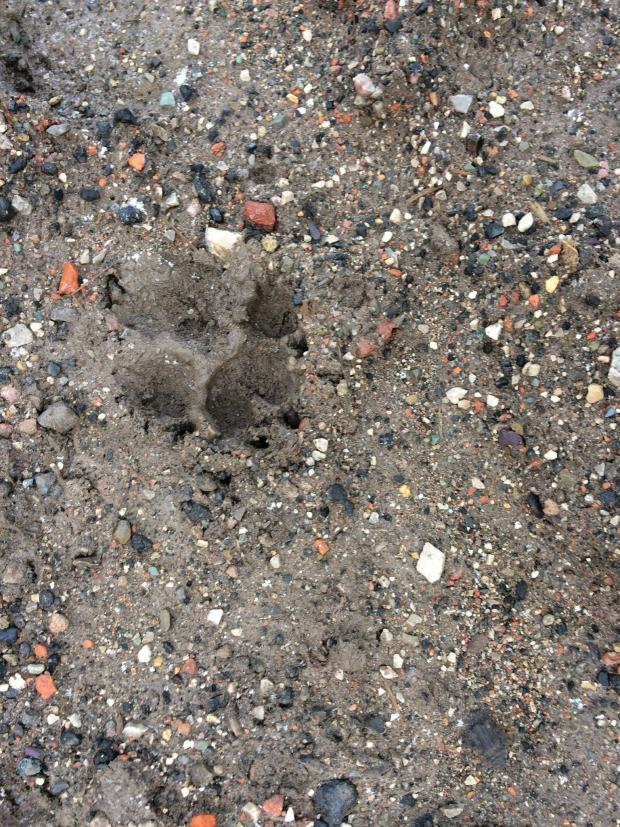 Chester and District Standard: Paw print found on Ince Marshes.
