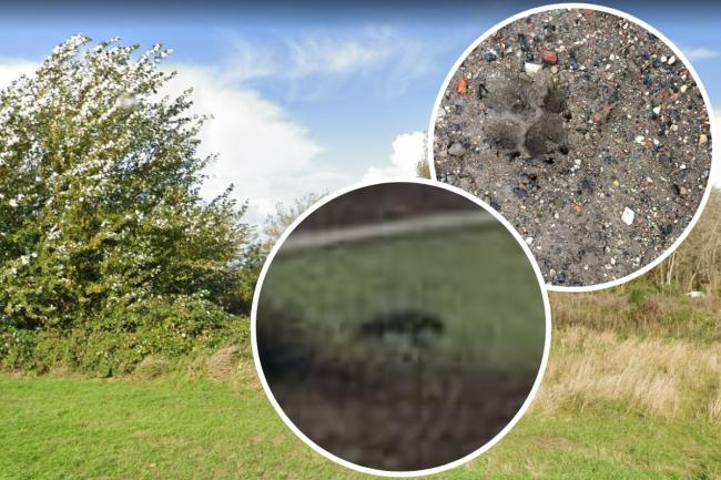 Paw print found on Ince Marshes and (inset) 'big cat' photographed on Chester Meadows.