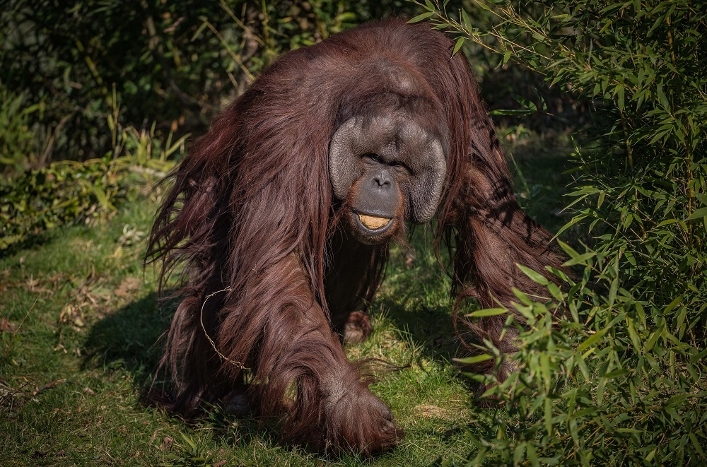 Funds raised after Chester Zoo fire will go to help orangutans in South East Asia