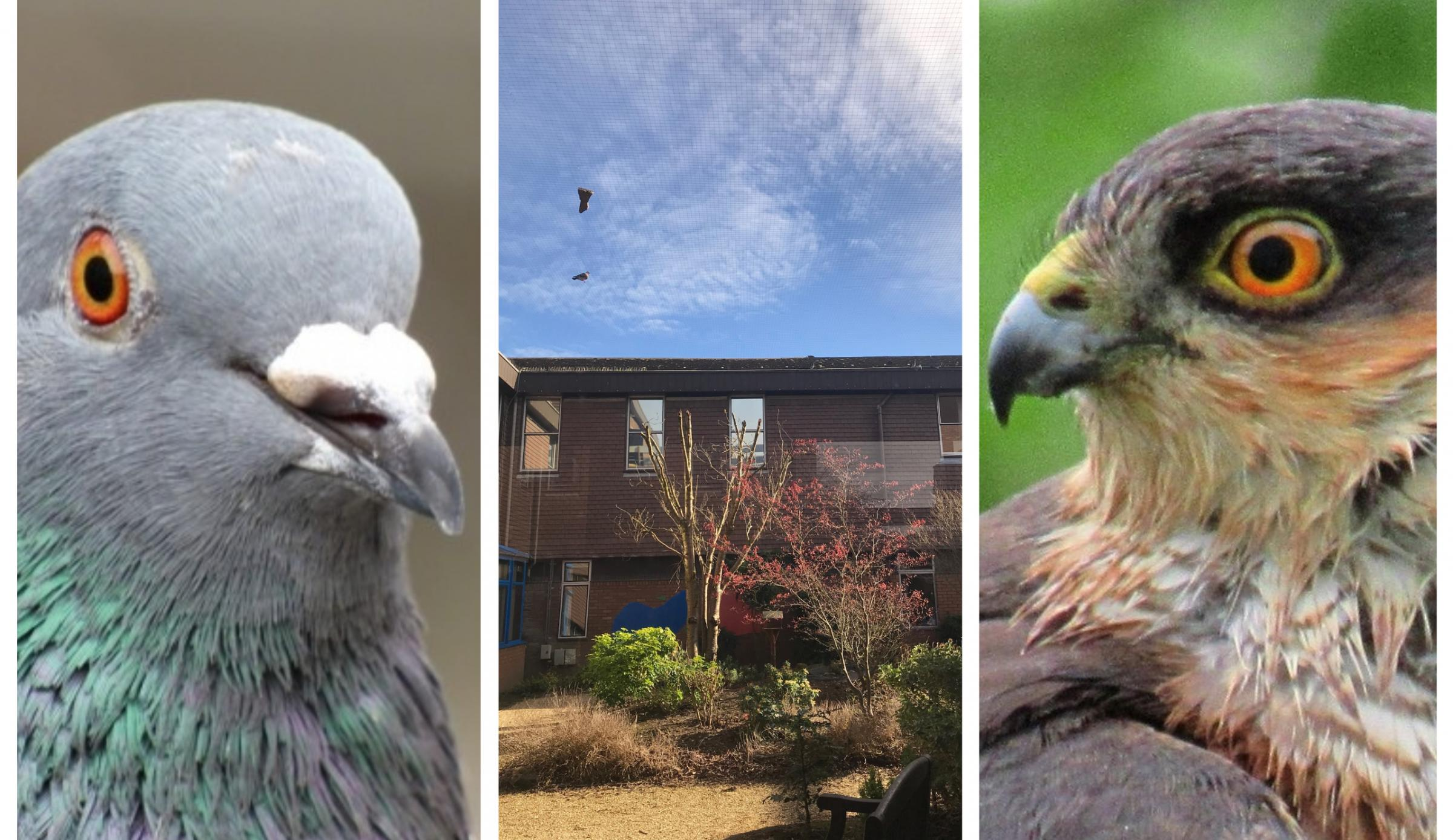 Birds Of Prey Feast On Pigeons Caught In Nets At Countess Of Chester Hospital Chester And District Standard